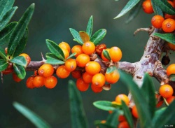 Seabuckthorn Seed Oil Cas No.: 225234-03-7 - RSSBTS