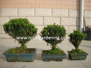 bonsai - royalgardening