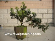 Podocarpus bonsai - Royal Gardening 04